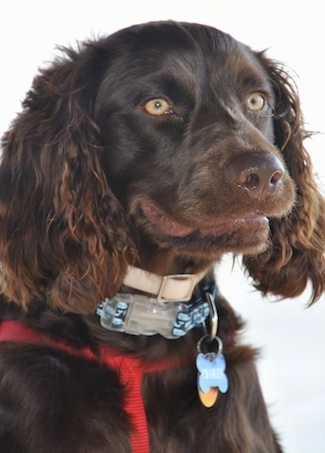 Close Up - Charley the Boykin Spaniel wearing a dog tick collar and another baby blue collar with dog tags hanging from it along with a red harness