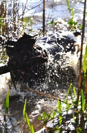 Charley the Boykin Spaniel is splashing in a body of water with a thick stick in his mouth