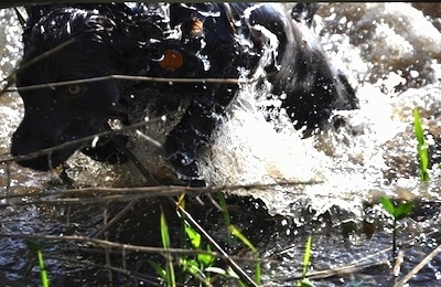 Close Up action shot - Charley the Boykin Spaniel is running through water