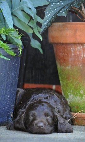 Close Up - Ollie the Boykin Spaniel puppy sleeping outside in between two potted plants