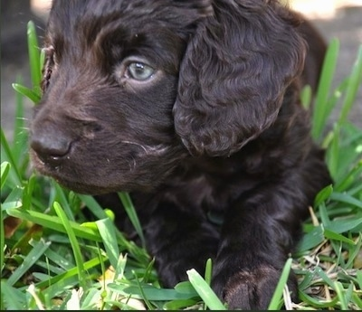 Close Up - Ollie the Boykin Spaniel puppy looking over to the right and laying in grass