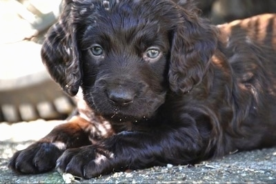 Close Up - Ollie the Boykin Spaniel puppy laying on a blacktop and looking at the camera holder