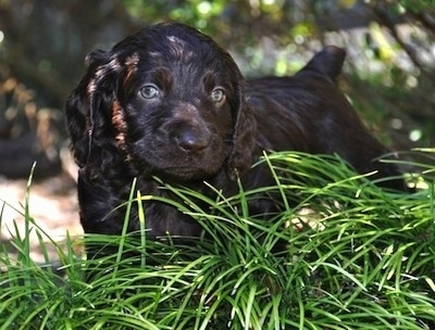 Close Up - Ollie the Boykin Spaniel puppy standing in front of tall grass
