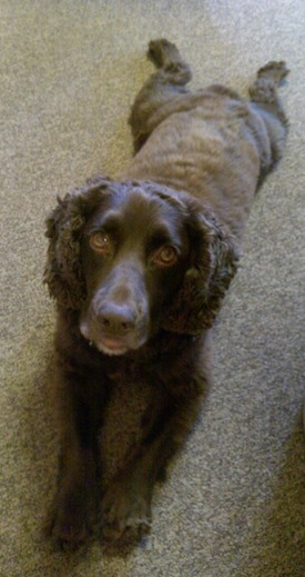 Ruben the Boykin Spaniel laying on the carpet looking up