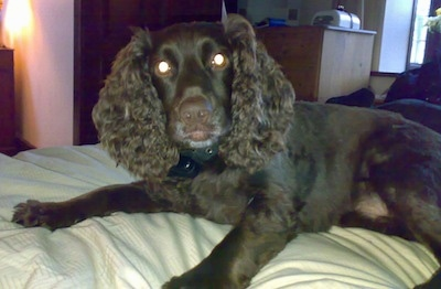 Close Up - Ruben the Boykin Spaniel laying on a human's bed and looking at the camera holder