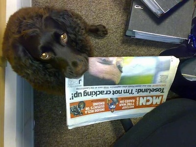 Close Up - Ruben the Boykin Spaniel looking up with the newspaper in his mouth
