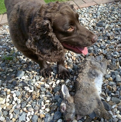 Ruben the Boykin Spaniel standing in rocks over a dead rabbit and looking to the left