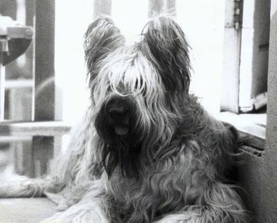 Black & White Picture - Desi the Briard laying on a step in front of a doorway with its mouth open and tongue out