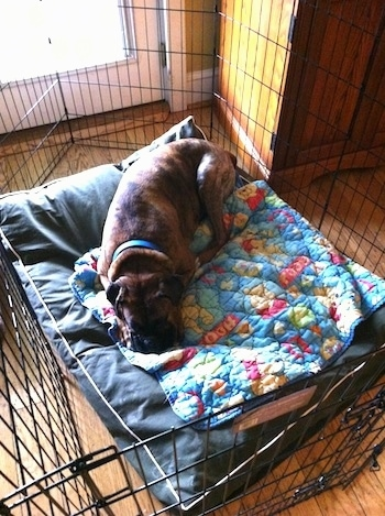 Bruno the Boxer laying on a dog bed in an x-pen