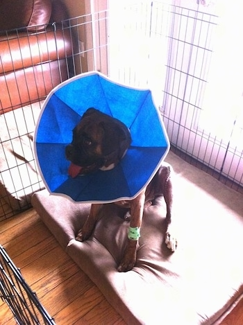 Bruno the Boxer sitting in an x-pen with a cone on his head on top of an orthopedic dog bed