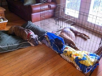 Bruno the Boxer laying on an orthopedic dog bed inside of an x-pen with a cone on his head. With Spencer the Pit Bull Terrier laying down next to him outside the x-pen on a green dog bed