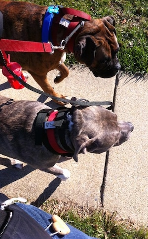 Spencer the Pit Bull Terrier and Bruno the Boxer walking down a sidewalk