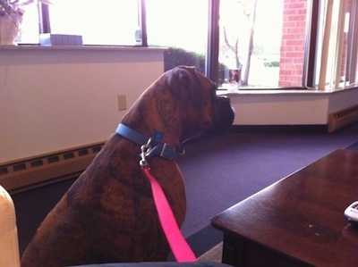 Bruno the Boxer sitting in the Imaging Center