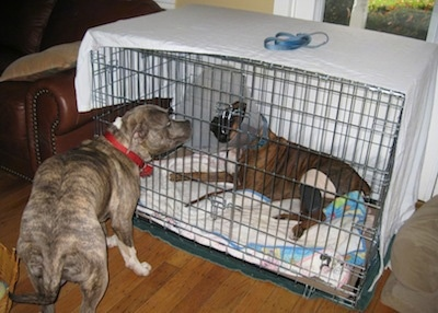 Spencer the Pit Bull Terrier standing in front of Bruno the Boxer in the crate