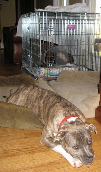 Spencer the Pit Bull Terrier laying on a dog bed and Bruno the Boxer laying in the crate with the cone on