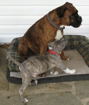 Spencer the Pit Bull Terrier bumping into a sitting Bruno the Boxer