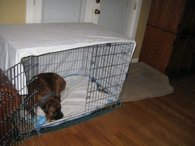 Bruno the Boxer laying in a crate covered in a sheet