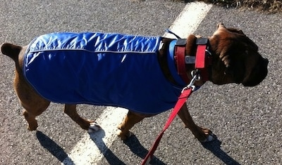 Bruno the Boxer wearing a blue coat, walking in a parking lot