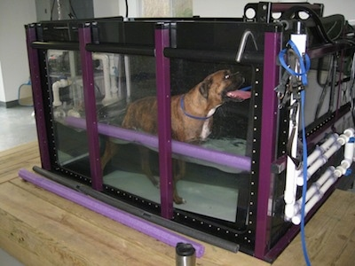 Bruno the Boxer walking on an underwater treadmill