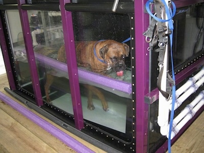 Bruno the Boxer walking on the treadmill with his tongue in the water