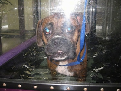 Bruno the Boxer walking on underwater therapy treadmill looking at the camera holder