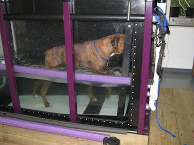 Bruno the Boxer walking on an inclined underwater treadmill