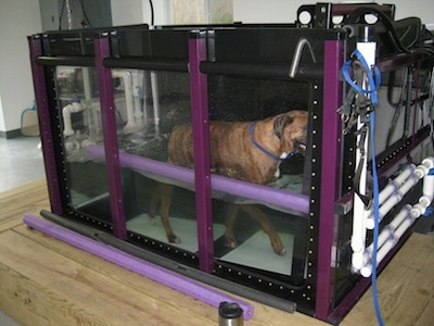 Bruno the Boxer walking on an inclined underwater treadmill with a water noodle and coffee mug on the outside