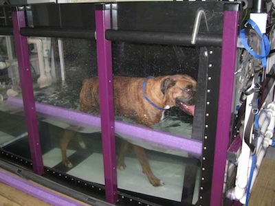 Bruno the Boxer walking on an inclined underwater treadmill with its mouth open and his tongue out