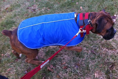 Bruno the Boxer with a blue coat on walking up a hill