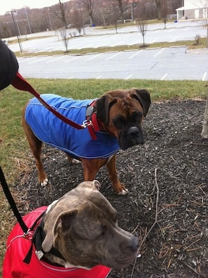 Bruno the Boxer and Spencer the Pitbull with coats on standing in the grass