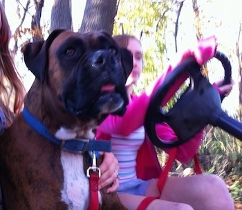 Bruno the Boxer riding on a golf cart with Sara driving