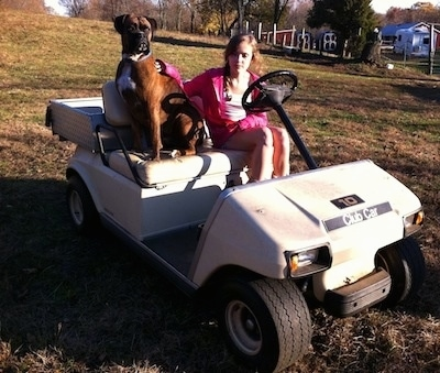 Bruno the Boxer sitting on the golf cart with Sara