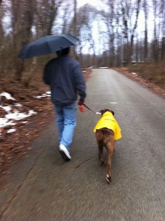 Bruno the Boxer in a raincoat being walked by a guy