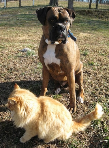 Bruno the Boxer sitting outside with a long haired orange cat in front of him