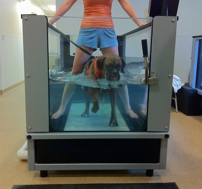 Bruno the Boxer walking in the underwater treadmill and drinking the water with the therapist over top of him who is also in the water