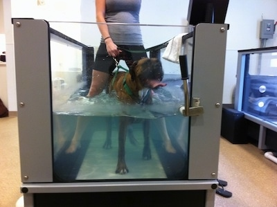 Bruno the Boxer walking in the underwater treadmill with the therapist over top of him