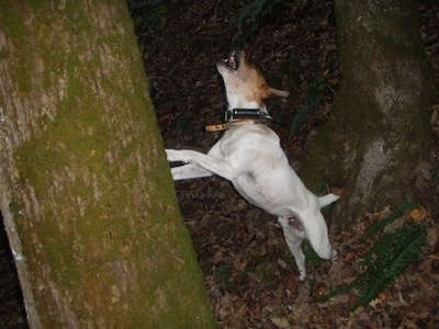 The left side of a white with brown Buckley Mountain Feist that is standing against a tree and it is barking.