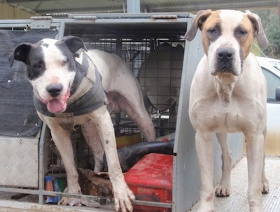 Two Bull Arab dogs are standing on the bed of a truck and they are looking forward.