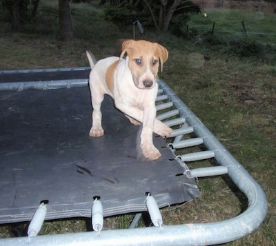 Bull Arab puppy is walking around on a trampoline