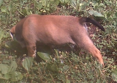 The left side of a brown with white Bull-Aussie Puppy that is standing and sniffing grass in a yard.