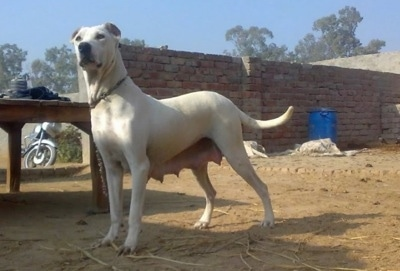 Left Profile - A white with tan Pakistani Mastiff dog is standing in dirt and it is looking forward. Its teets are hanging down from having a litter of puppies. There is a brick wall and a motorcycle behind it.