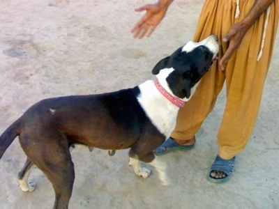 A brown and white Pakistani Mastiff is standing on a concrete surface and walking up to a person in gold pants and blue sandals and sniffing them.