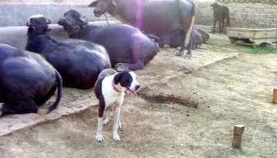 A brown and white Pakistani Mastiff is standing in dirt and behind it is a line of laying and standing cattle.