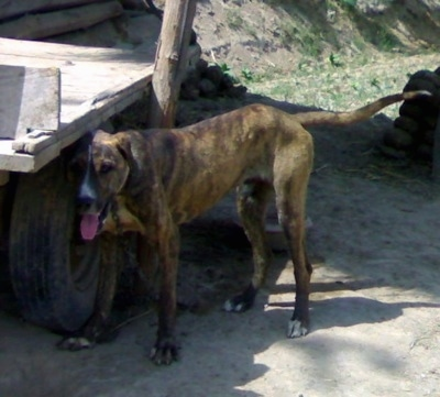Front side view - A brown brindle with white Pakistani Mastiff is standing on dirt and under the shade of a flat bed wagon. It is panting.