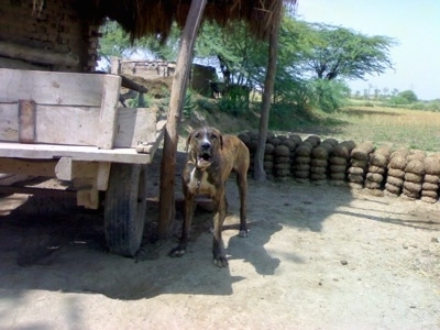 A brown brindle with white Pakistani Mastiff is standing on dirt and next to a wooden wagon. It is barking.