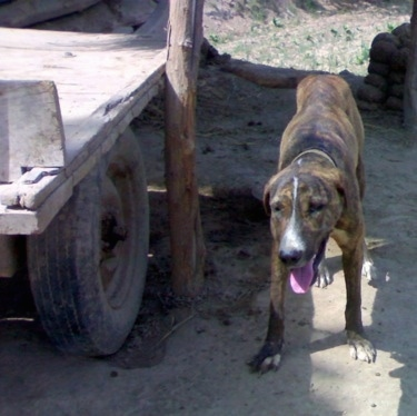 Front view - A brown brindle with white Pakistani Mastiff is standing in dirt in the shadow of a wooden flat-bed trailer. Its head is down and it is looking forward. Its mouth is open and tongue is out.