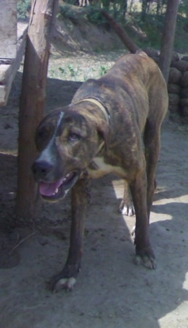 Front side view - A brown brindle with white Pakistani Mastiff is standing in shade and its head is level with its body. its mouth is open and its tongue is out.