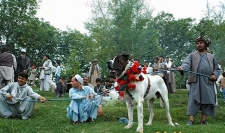 A white with brown Pakistani Mastiff dog is standing in a field with a red and black lai around its neck. There is a lot of people behind it. There is a green rope attached to the dog that three people are holding on to.
