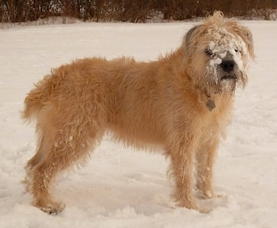 Izzie the Bully Wheaten outside in the snow with snow stuck to her face