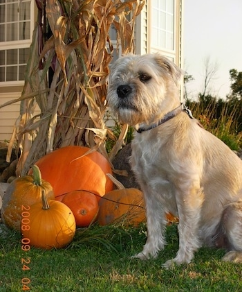Izzie the Bully Wheaten sitting next to pumpkins